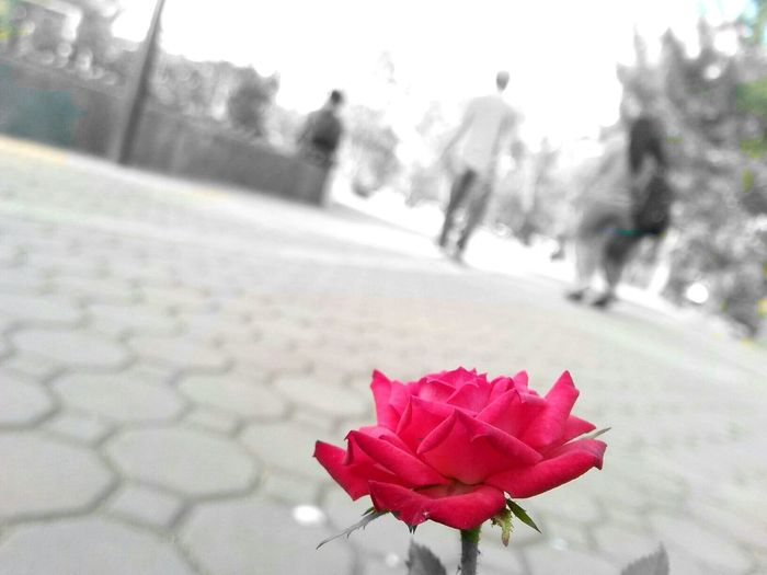 beauty in lonely times Rose🌹 Showcase July Red Flower Red Alone But Not Lonely In Black & White Black And White With A Splash Of Colour Black And White Background Beauty Redefined Park Asus Asus Camera Baguio City Burnhampark Baguio City, Philippines Colour Of Life People And Places. People And Places People And Places Live For The Story The Street Photographer - 2017 EyeEm Awards BYOPaper! The Great Outdoors - 2017 EyeEm Awards The Portraitist - 2017 EyeEm Awards The Week On EyeEm Be. Ready.
