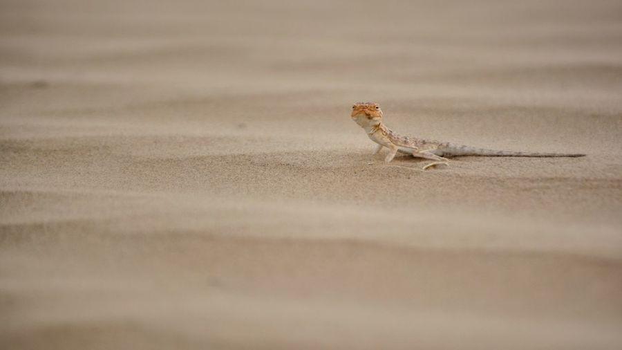 Sandy Beach Oman Gold Sand_storm Reptile Sand Dune Desert Iguana Sand Lizard Animal Themes