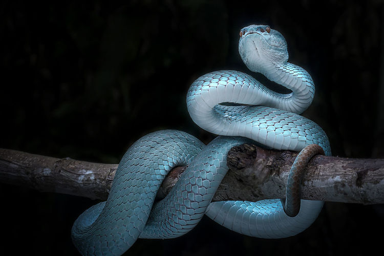 Blue Viper Snake Animal Animal Themes Animal Wildlife Animals In The Wild Black Background Blue Branch Close-up Day Focus On Foreground Land Nature No People One Animal Poisonous Reptile Snake Tree Vertebrate Wood - Material