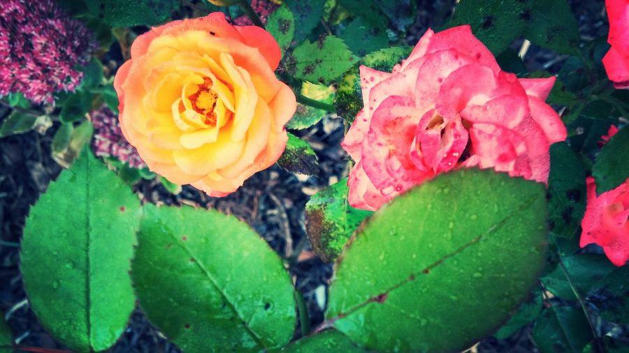 Flower#garden#nature#ecuador#santodomingoecuador#eyeEmfollowers#iphoneonly#nofiltrer#macro_garden#pretty#beautiful#followme#sho EyeEm Nature Lover Flowers Flowers <3