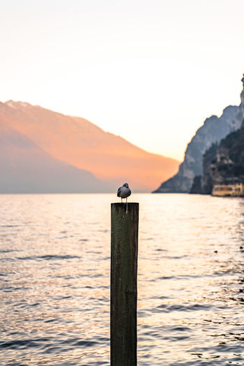 Seagull perching on wooden post in sea against clear sky during sunset
