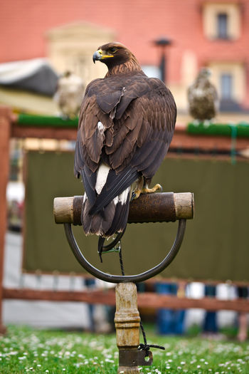 Czech Republic Eagle Falconry Sitting Waiting Animal Animal Themes Animal Wildlife Bird Bird In Captivity Bird Of Prey Brown Captive Animals Day Eagle Eagle - Bird Eagle Portrait Falconry Centre Falconry Display No People Outdoors Perching Unesco Nontangible Heritage Wooden Post