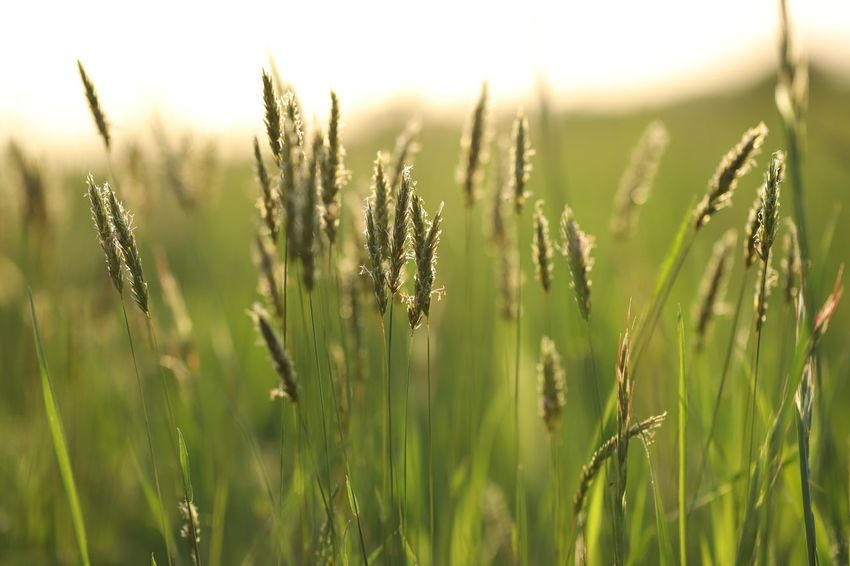 Springtime sunsets Plant Growth Tranquility Beauty In Nature Nature Focus On Foreground Field Green Color Sunlight Day Tranquil Scene Close-up Scenics - Nature Agriculture Grass No People Sky Outdoors Land