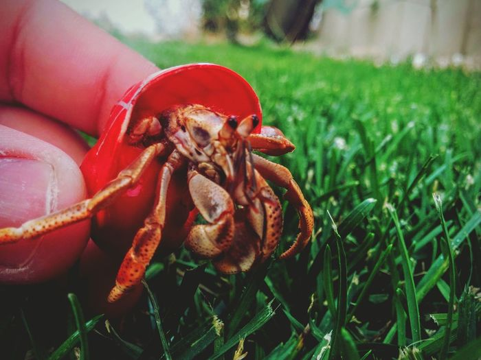 Lil-Buddy Spider-Man Crab Painted Shells
