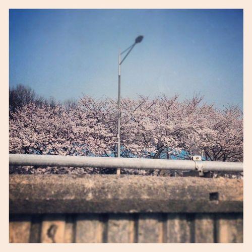 출근길 월요일 차막혀!! 신호대기 아침 출근 차막혀 지하철탈껄ㅠㅠ 벚꽃