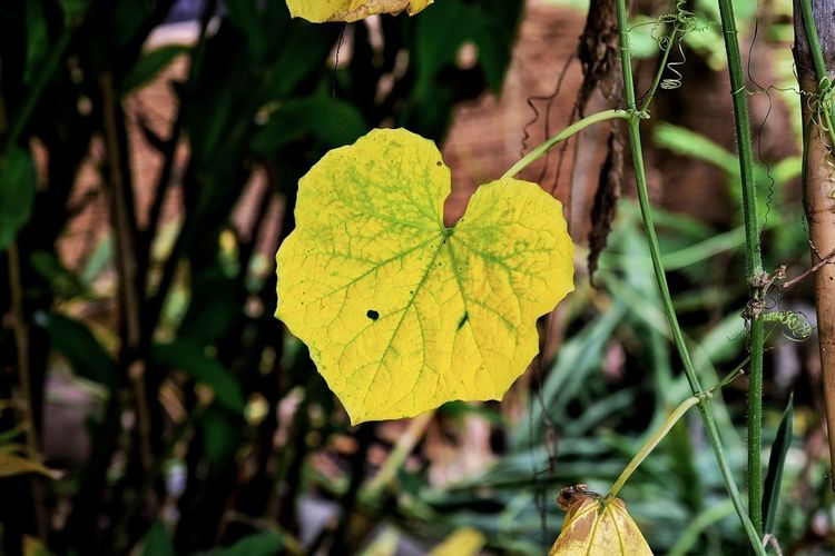 Leaf Yellow Plant Nature Day Outdoors Focus On Foreground Beauty In Nature Close-up No People Fragility