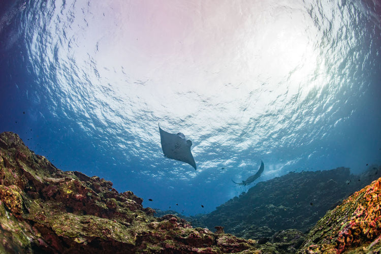 Low Angle View Of Manta Rays Swimming In Sea
