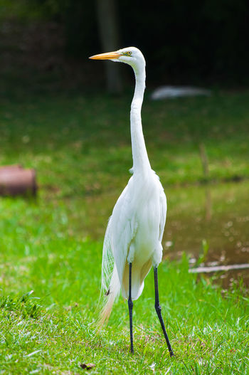 Bird Photography Jarinu Nature Photography Animal Themes Animal Wildlife Animals In The Wild Ave Beauty In Nature Beauty In Nature Bird Day Field Garca Garça Branca Grass Great Egret Green Color Lago Lake Nature No People One Animal Outdoors White Color