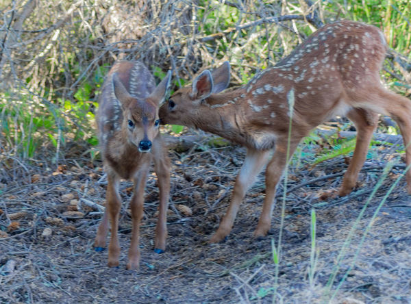 Two Curious Twin Fawns that Mama left in a yard nearby. They are suppose to stay hidden, but looks like the got bored. Adorable Animal Photography Animal Themes Animals Animals In The Wild Baby Animals Curious Day Deer Deers Driveway Fawn Fawns Mammal Nature Photography No People Outdoor Photography Too Cute Wildlife Wildlife & Nature Wildlife And Nature Wildlife Photography Wildlife_perfection Wildlifephotography Yard