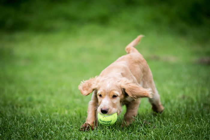 Una the 3 month old working cocker spaniel puppy. playing with her tennis ball in the park Cocker Spaniel  Cockerspaniel Field Pet Portraits Tennis Ball Golden Cocker Spaniel Park Pet Pets Puppy Tree Stump Working Cocker Spaniel