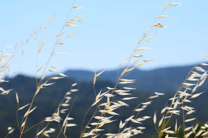 Wheat Agriculture Beauty In Nature Blue Cereal Plant Clear Sky Close-up Crop  Day Ear Of Wheat Field Freshness Grass Growth Nature No People Outdoors Plant Rural Scene Scenics Sky Sunlight Timothy Grass Tranquil Scene Tranquility Wheat The Week On EyeEm Lost In The Landscape