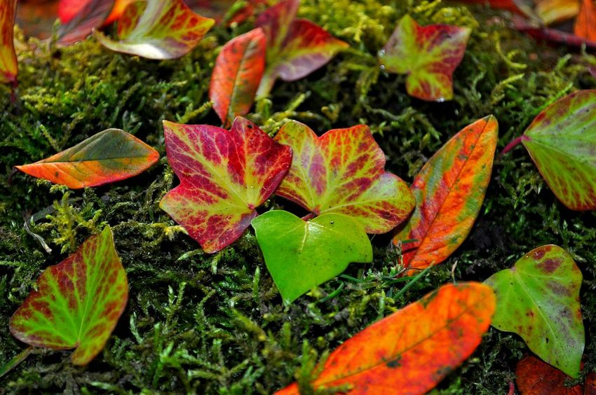 Multi Colored Coloured Leafs Color Explosion Amazing Colours Leaves Natural Pattern Pattern Pieces Leafporn Colorful Colorsplash EyeEm Best Shots The Week On Eyem Check This Out My Daily Pics Colours Multicolor Color Photography Colors Of Nature Leaves_collection Leavesporn Leaf Fantasy Plants Moss Moss And Leaves Mossporn