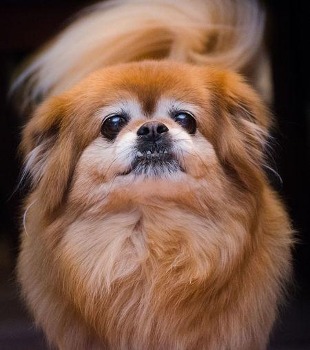 Close-Up Of Pomeranian Dog