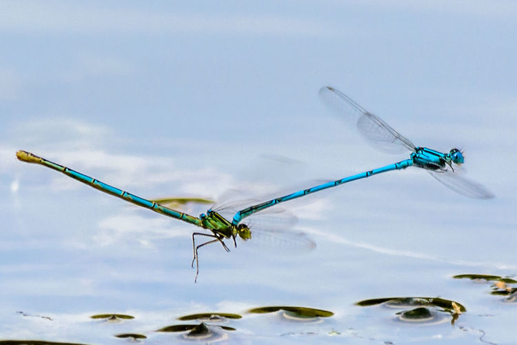 High angle view of dragonflies hovering over pond
