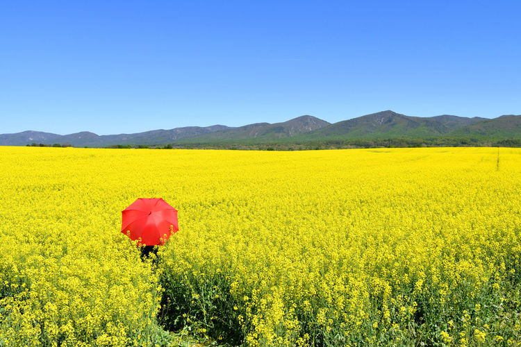 Scenic view of oilseed rape field against clear blue sky