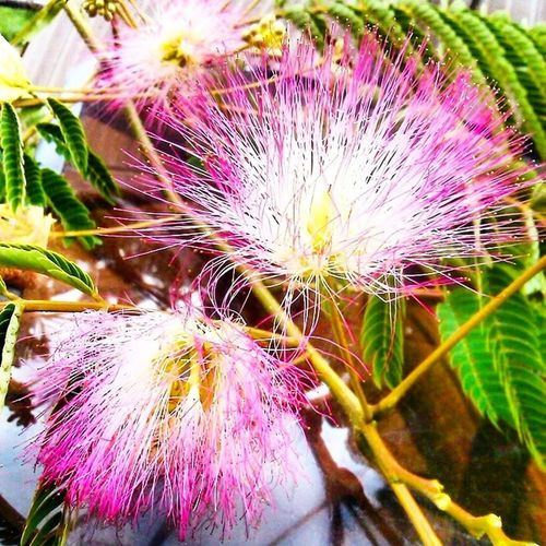 Albizia tree in the yard...love! Blaise worked so hard to pick this for me. :) Albiziatree Flowers Floweringtree