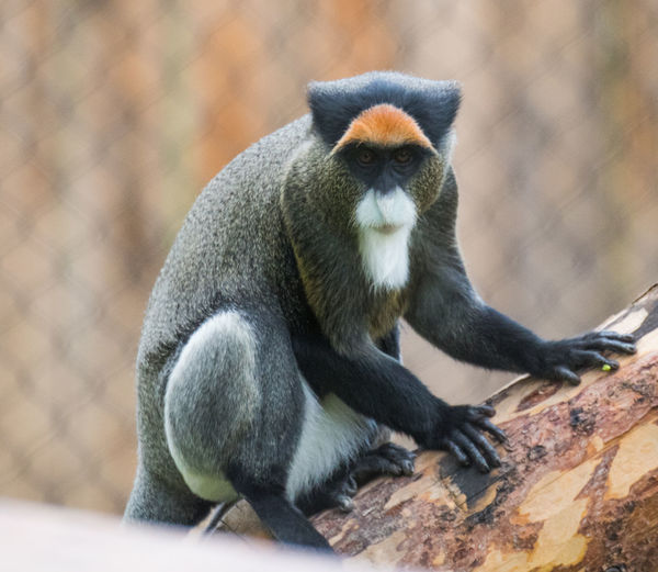 De Brazza's monkey (Cercopithecus neglectus). The De Brazza's monkey is an Old World monkey endemic to the wetlands of central Africa. It is one of the most widespread African primates that live in forests. De Brazza's Monkey Animal Wildlife Day Focus On Foreground Full Length Looking Mammal Nature One Animal Outdoors Primate Sitting Tree Vertebrate Zoo