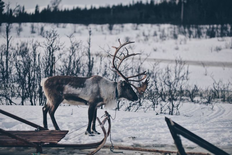 Side view of deer during winter