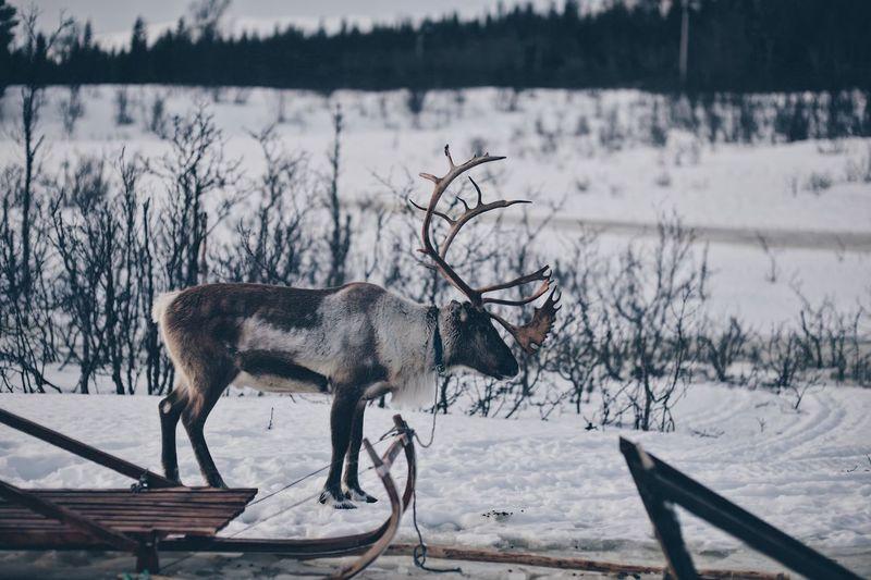 Side view of deer during winter