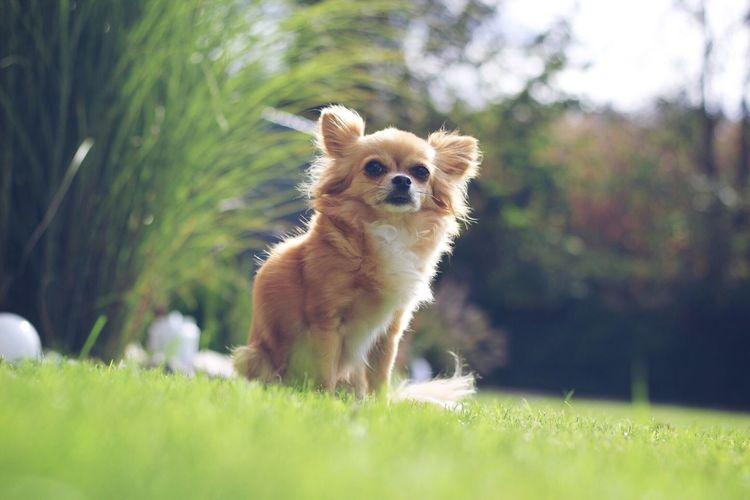 My girl Chihuahua Dog Outdoors Grass Nature EyeEmNewHere