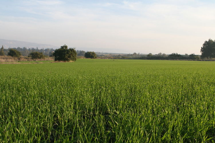 Amazing Landscapes of Israel, Views of the Holy Land Landscape Plant Field Land Environment Green Color Agriculture Rural Scene Tranquil Scene Tranquility Scenics - Nature Growth Sky Crop  Beauty In Nature Tree No People Nature Farm Grass Outdoors