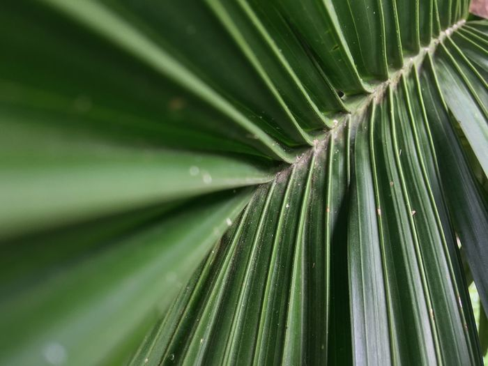 Backgrounds Beauty In Nature Close-up Day Directly Below Freshness Full Frame Green Color Growth Leaf Leaves Natural Pattern Nature No People Outdoors Palm Leaf Palm Tree Pattern Plant Plant Part Tree Tropical Climate