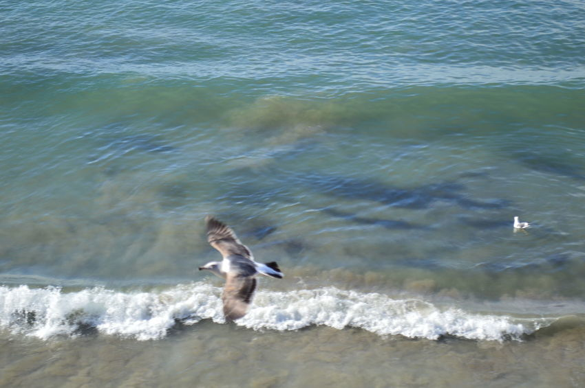 Gaviota sobrevolando el mar Animal Themes Animal Wildlife Animals In The Wild Beauty In Nature Bird Day Motion Nature No People One Animal Outdoors Sea Spread Wings Swimming Water Waterfront Wave
