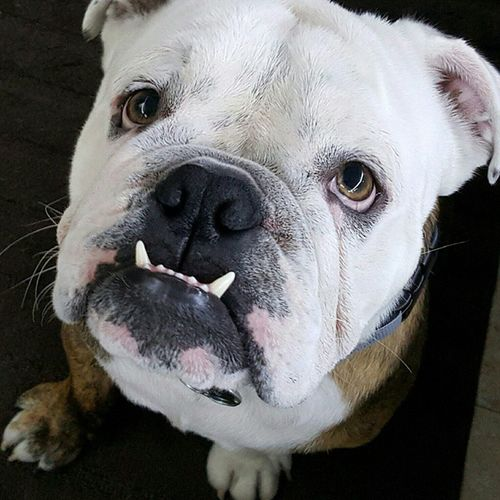 Angelface Bully MyBFF Pets Chokeoutcancer Chokeoutcancermascot Mrtankthebulldog Disel Mydogisthecutest Live Love Instagram