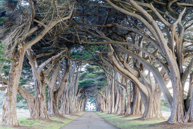 Signature Cypress Tree Tunnel in Inverness. Point Reyes National Seashore, Marin County, California, USA. Tree The Way Forward No People Direction Nature Day Growth Outdoors Trunk Tranquility Branch Tree Trunk Diminishing Perspective Beauty In Nature Arch Land Tropical Climate Treelined Monterey Cypress Cypress Tree Tunnel Point Reyes National Seashore Point Reyes National Park California Tree Tunnel