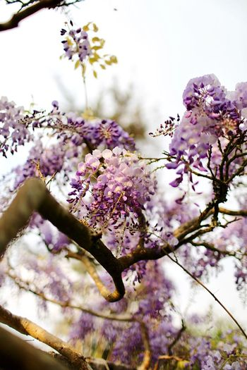 Wisteria Wisteria Flower Flowering Plant Plant Fragility Growth Vulnerability  Beauty In Nature Freshness Blossom Tree Branch Springtime Nature Day Sky Botany Pink Color