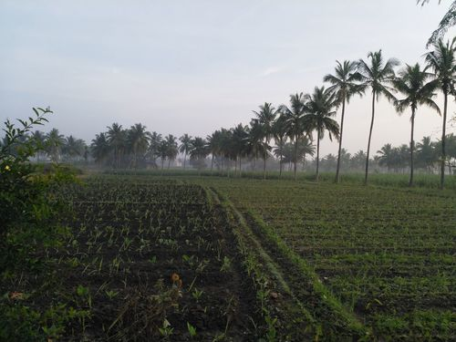 Breezy Morning❤😎 Agriculture Tree Growth Crop  Farm Field Rural Scene Vegetable Nature Food Green Color Landscape No People Beauty In Nature Freshness