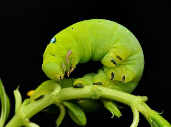 Green caterpillar Green Color One Animal Animals In The Wild Animal Themes Animal Wildlife Close-up No People Black Background Caterpillar Nature Macro Green Caterpillar Chubby Nature Night Outdoors