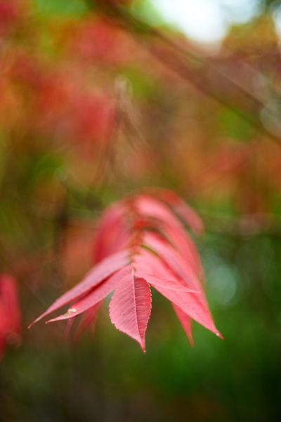 Fade to Autumn Autumn Beauty In Nature Bokeh Bokehlicious Close-up Fall Colors Helios 44-2 Nature Sumac