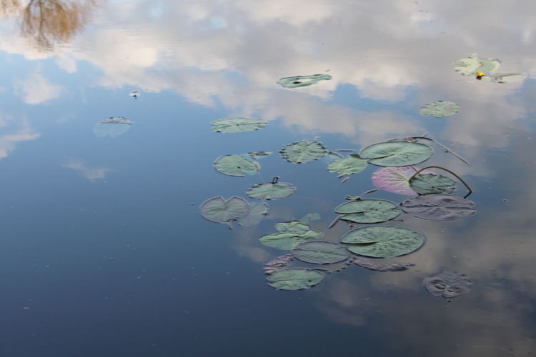 Reflecting River Clouds Reflections On Water Animal Themes Beauty In Nature Close-up Day Floating Floating On Water Growth Lake Leaf Lily Pad Nature No People Outdoors Plant Reflection Sky Swimming Underwater Water Waterfront Floating In Water Lily Plant Life Water Plant Water Lily In Bloom Blooming Lotus Water Lily