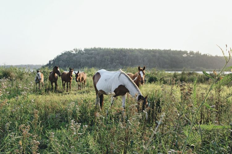 Domestic Animals Animal Themes Field Copy Space Clear Sky Livestock Horse Mammal Landscape Grassy Nature Day Green Color Animal Behavior Beauty In Nature Tranquility Tranquil Scene