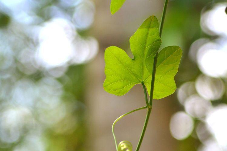Coccinia Grandis Leaf Coccinia Grandis Leaf Leafs Photography Leaf Fantasy EyeEm Nature Lover EyeEm Team