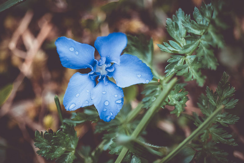 beautiful blue Beauty In Nature Blue Close-up Day Dew Flower Flower Head Flowering Plant Focus On Foreground Fragility Freshness Growth Inflorescence Land Nature No People Outdoors Petal Plant Purple Selective Focus Vulnerability