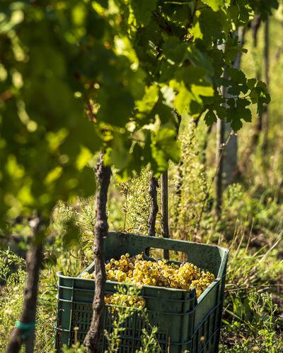 Plants growing in vineyard