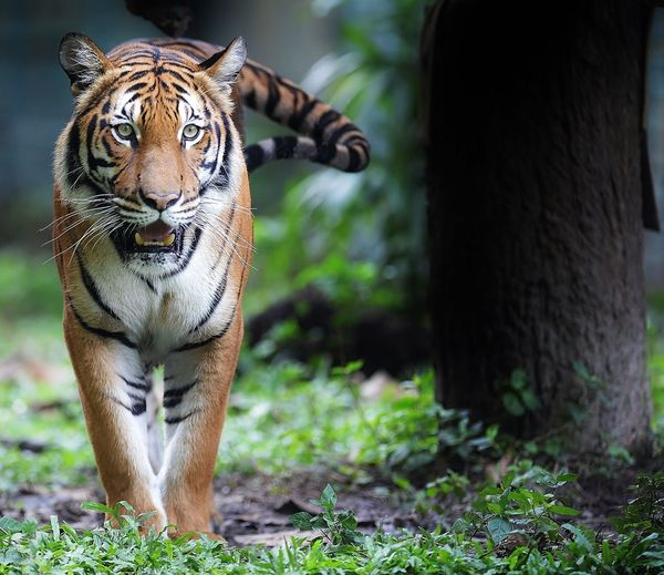 Tiger Walking In Forest