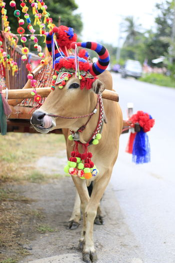 Bull Cow Cowboy Mammal Domestic Domestic Animals Pets Animal Themes Animal Incidental People One Animal Focus On Foreground Vertebrate Day Livestock Working Animal Street Outdoors Nature City Multi Colored Decoration Herbivorous Animal Head
