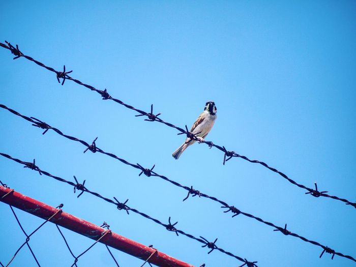 Feeding time. Lumixphotography Bird Razor Wire Barbed Wire Protection Perching Safety Security Chainlink Fence Metal Animal Themes Fence Wire