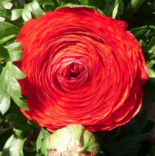 HAPPY WOMEN'S DAY NaturelColor Nature Photography Natural Life Nofilternoedit Nofilter Mugla Cevremdekisessizhareketler Marmaris, Turkey Rose - Flower Flowers Flower