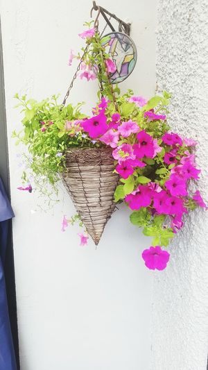 petunias in bloom Trailing Flowers Pink Hanging Flower Flower Head Plant