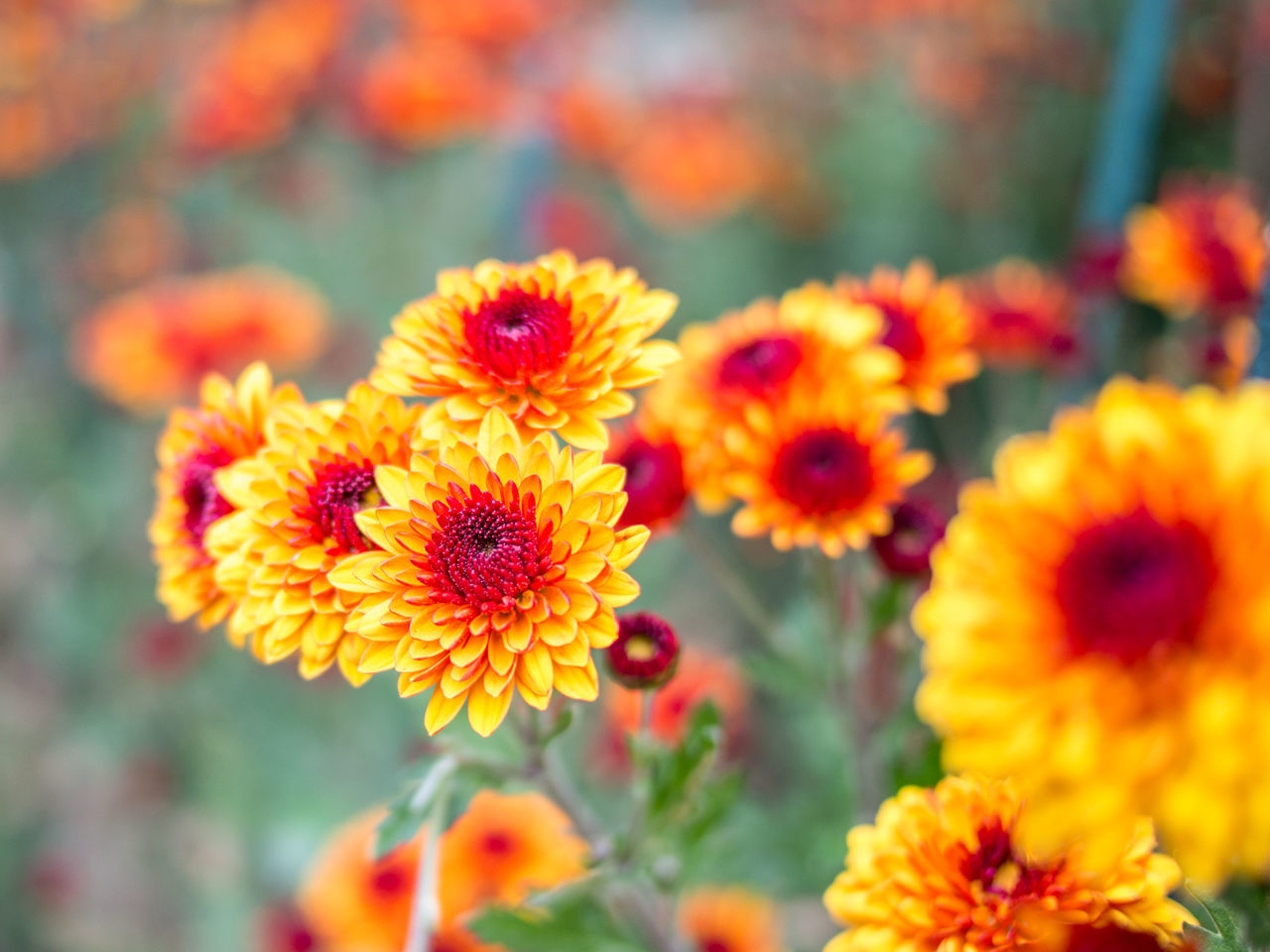 flower, fragility, freshness, petal, beauty in nature, flower head, growth, nature, yellow, orange color, plant, no people, blooming, day, outdoors, marigold, close-up, focus on foreground, zinnia