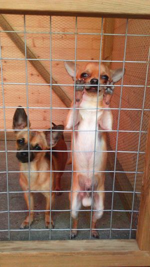 Chihuahua Chihuahuas Dogs Canines Small Dogs  Little Dogs Chihuahua Lovers Kennel Dog Kennel Behind Bars Let Us Out Why Am I Here Let Me Out Dog Kennel Cute Pets Cute Dogs Cute Dog Chihuahua Two Dogs Enclosed Caged Caged In Sweet Dogs The EyeEm Collection EyeEm Dogs Chihuahuamix