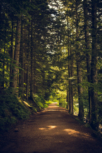 Dirt road amidst pine trees in forest