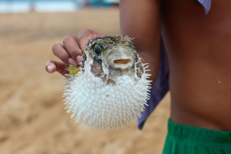 Close-Up Of Boy Holding Blowfish