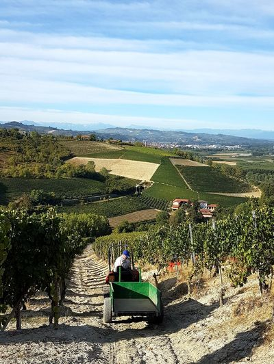 Outdoors Day Agriculture Nature Sky Rural Scene Hill Sunlight Landscape Scenics Barbaresco Vineyards Travel Destination Langhe Piedmont Italy Vineyard Cultivation Winemaking Agriculture Harvest Time Harvesting Barbaresco Harvesting Rural Life At Work