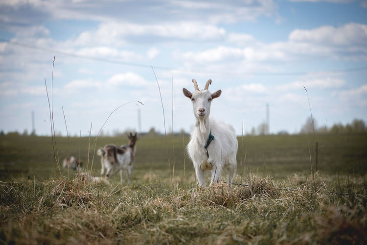 Agriculture Animal Themes Animals Portraits Beauty In Nature Cattle Breeding Cloud - Sky Country Life Countryside Day Domestic Animals Farm Field Goats Grass Landscape Latvia Mammal Nature No People Outdoors Sky Togetherness White White Goat