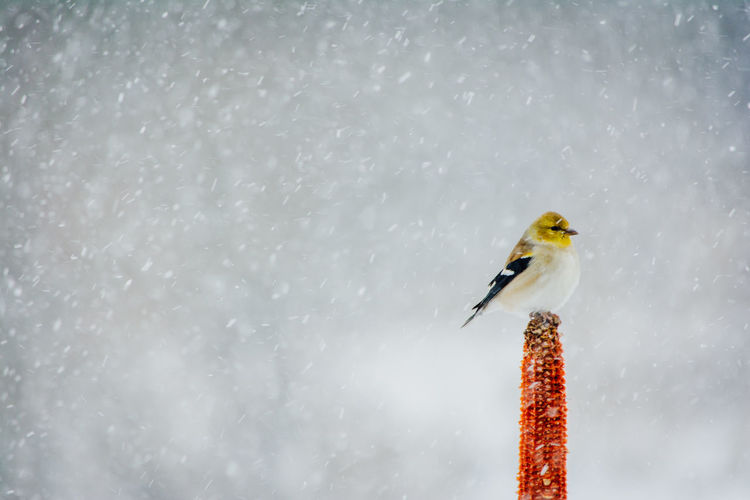 Animals In The Wild Animal Wildlife Bird Vertebrate Winter Animal Themes Cold Temperature One Animal Animal Snow No People Day Nature Outdoors Perching Focus On Foreground Water Motion Snowing